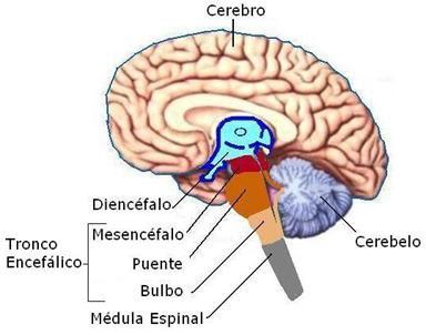 tallo cerebral