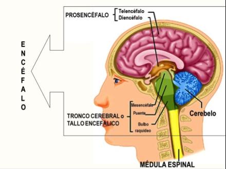 Reflejos del tronco cerebral